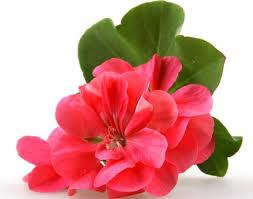 hh-geranium-image-2